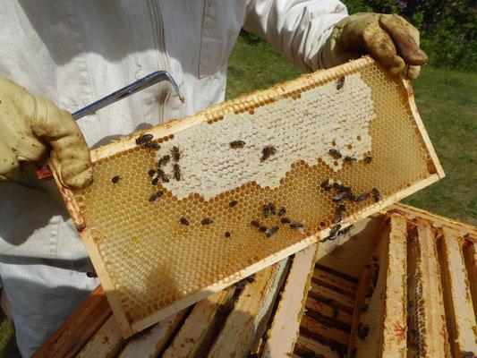 Honigwabe und Bienen beim Ausfressen