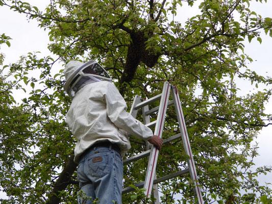 Der Hauptschwarm im Baum