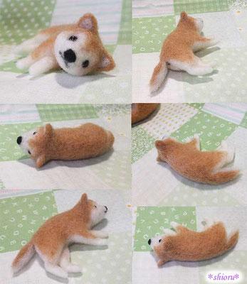 ゴロリン横になってる柴犬さん