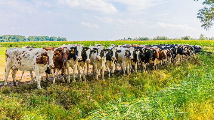 Koeien fotoshoot