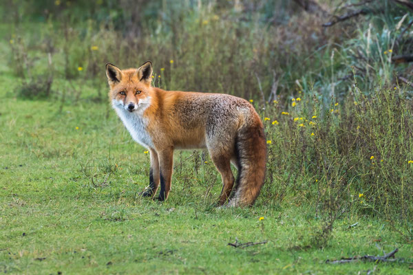 AWLD vossenjacht