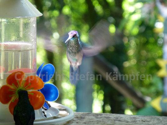 Closeup eines Kolibris auf der Insel Ilhabela