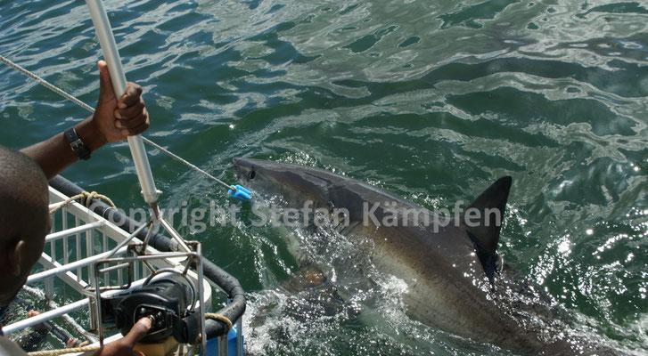 """Gehört in Südafrika zum den """"Big Seven"""": Der Weisse Hai"""