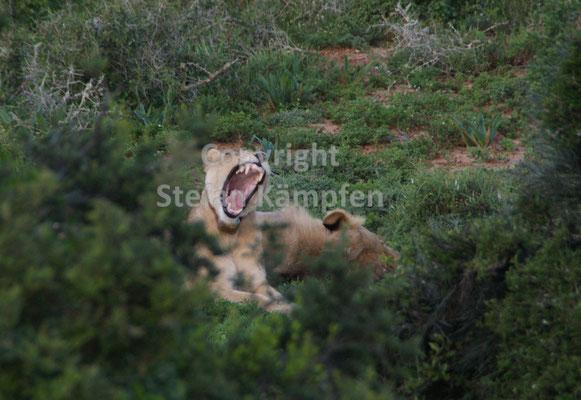 Ein Löwe reisst sein Maul auf