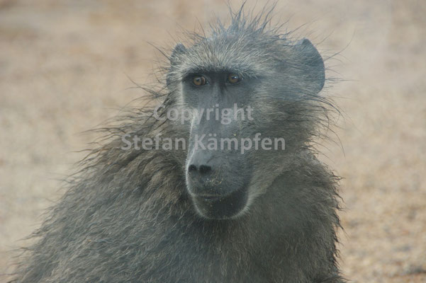 Gefürchteter Affe: Der Pavian