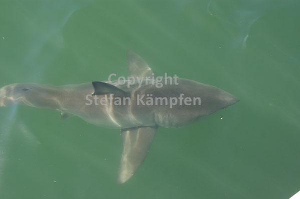 Der Weisse Hai: Schwimmen auf eigene Gefahr
