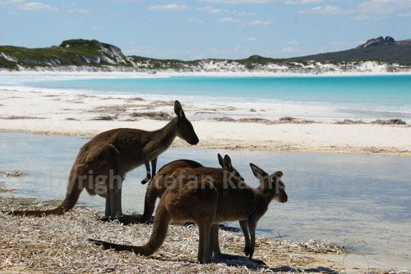 Zwei Markenzeichen in Australien: Kängurus und Traumstrände