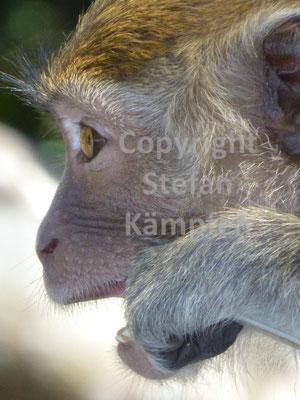 Allgegenwärtiges Foto-Sujet in Malaysia: Der Makake