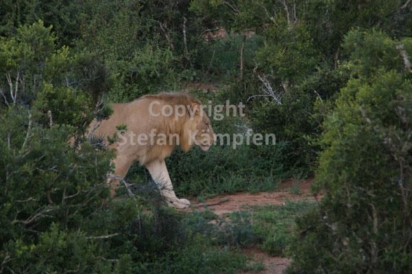 Ein zotteliger Löwe marschiert durch den Addo Elephant Park