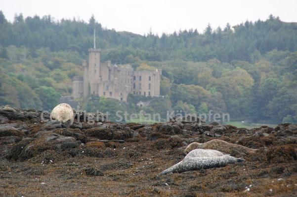 Die Gewässer Schottlands werden von grossen Robben-Kolonien bevölkert
