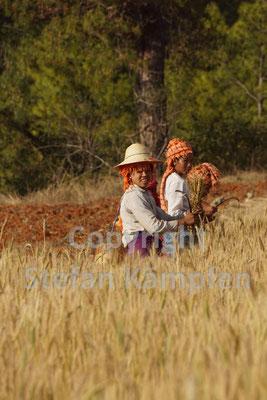 Burmesische Frauen bei der Kornernte