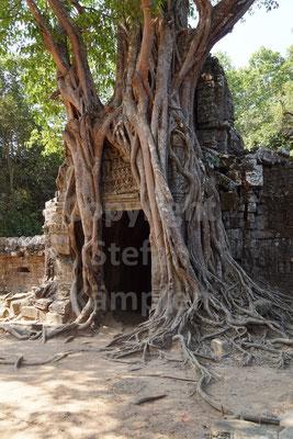 Als Fundament für diesen Baum dient ein alter Khmer-Tempel