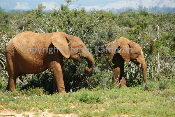 Elefanten vom Addo Elephant Park