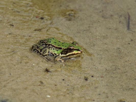 Wasserfrosch (???) im Naturgarten-Teich.