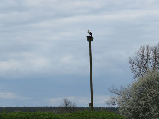 Der Storch auf seinem Ansitz mit Blick auf den Teich