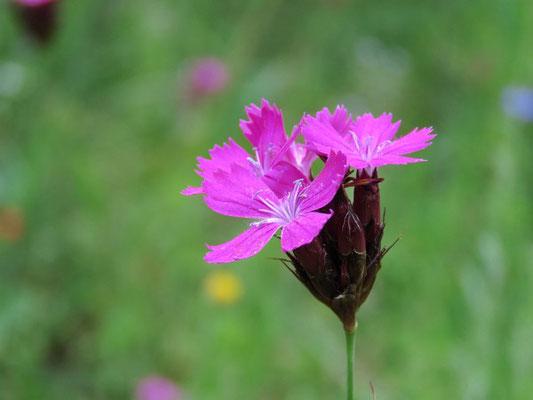 Kartäusernelke (Dianthus carthusianorum) in der Blumenwiese