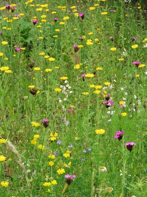 Blumenwiese aus Wildblumen