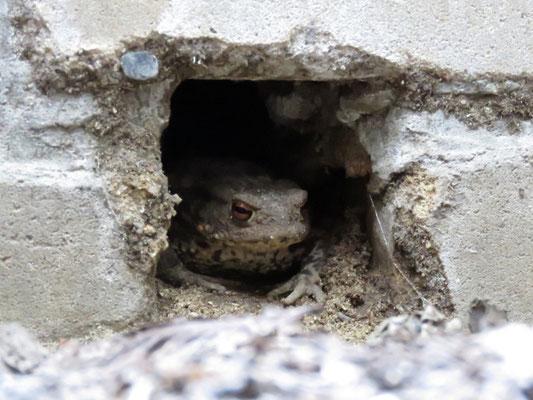 Im Lichtschacht gefangene Erdkröte