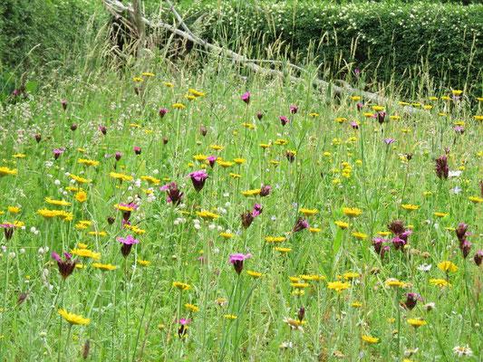 Wildblumenwiese mit Kartäusernelken (Dianthus carthusianorum)