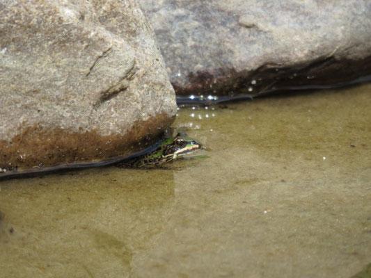 Wasserfrosch (???) im fischfreien Teich.