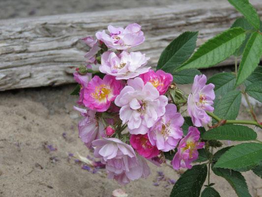 Blütendolde der Donaunymphe