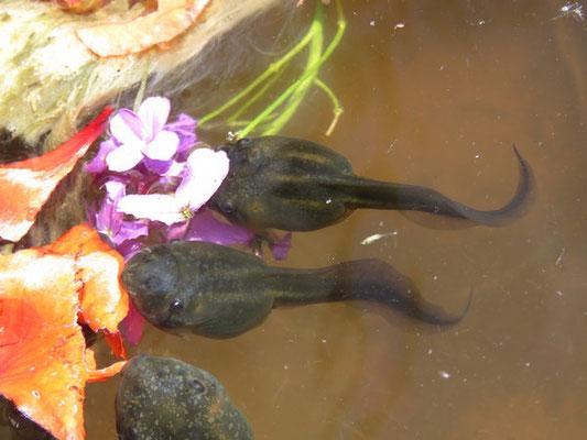 Knoblauchkrötenlarven (Pelobates fuscus) beim Fressen von Blütenblättern.