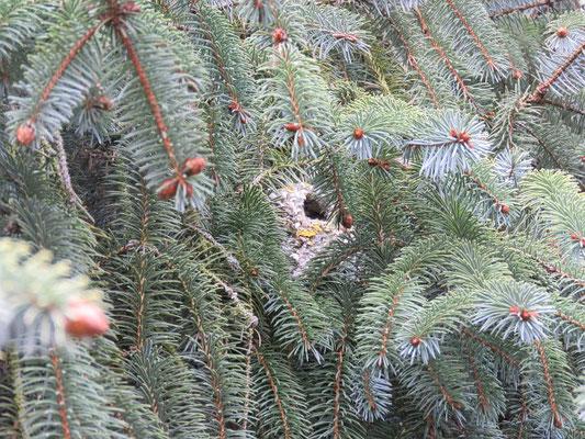 Schwanzmeisten-Nest in der Fichte