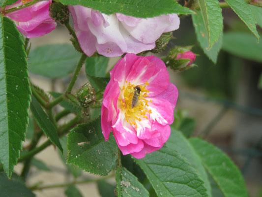 Blüte der Donaunymphe mit Schwebfliege.