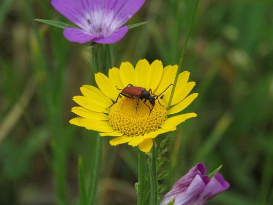 Blutroter Halsbock (Anastrangalia sanguinolenta) frisst Pollen der Färberkamille (Anthemis tinctoria)