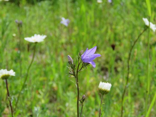 """Wiesenglockenblume in der Wildblumenwiese """"sonniger Standort"""" von Syringa"""