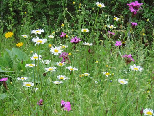 Wildblumenwiese Ende Mai