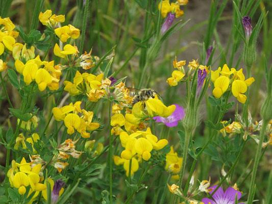 Hornklee (Lotus corniculatus) in der Blumenwiese