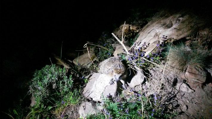 Der Igel verlässt seinen Unterschlupf auf dem Steinhügel
