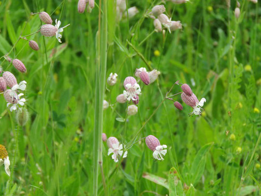 Taubenkropfleimkraut (Silene vulgaris) in der Blumenwiese