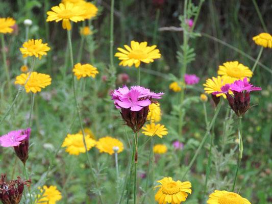 Färberkamille (Anthemis tinctoria) und Kartäusernelke (Dianthus carthusianorum) in der Blumenwiese