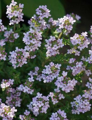 Thymian in voller Blüte