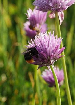 Bienen mögen Schnittlauchblüten (develloppa)