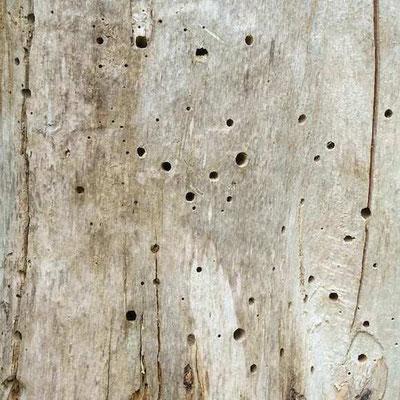 Insektenlöcher im toten Baum