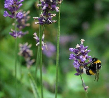 Biene bei der Arbeit - develloppa