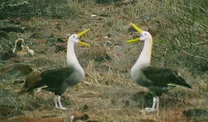 Galapagos Albatrossen, baltsend (begroetend). (gescande oude foto)