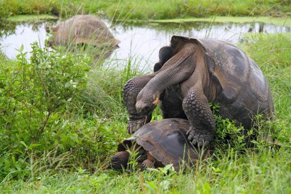Parende Galapagos Reuzenschildpadden