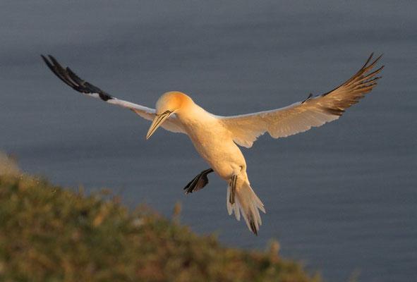 Jan van Gent landt op nest, Helgoland.