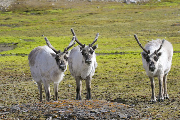 i.t.t. Lapland zijn de Rendieren hier wild
