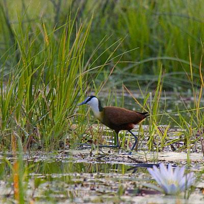 Lelieloper, (Lotusvogel/'Grootlangtoon'/African Jacana, Khwai river