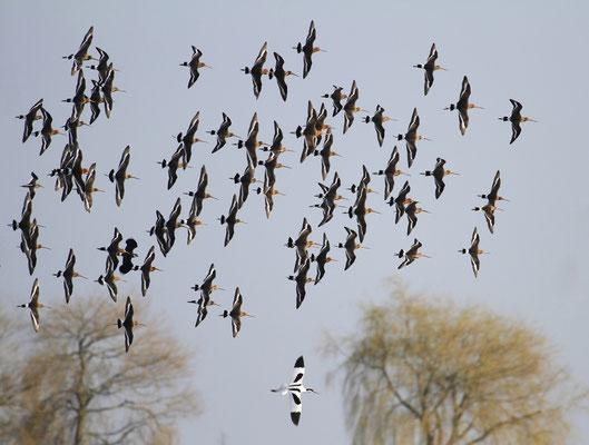 Formatie vliegen in de Eempolder. Hoeveel soorten zie je?