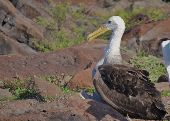 Galapagos Albatros (Waved Albatross)