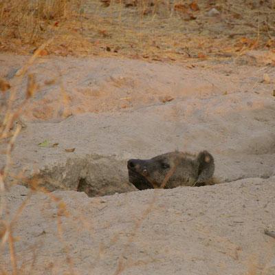 Hyena in nesthol, Sango