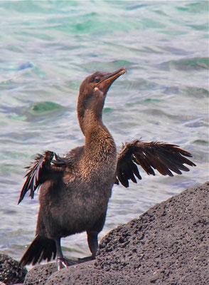 Galapagos Aalscholver. Kan niet vliegen