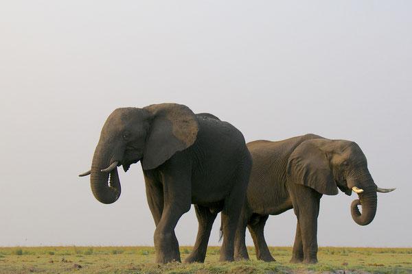 Olifanten aan de Chobe river