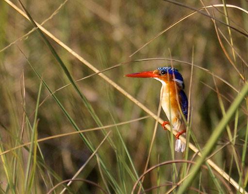 Malachiet IJsvogel, Okavango delta, vanuit Gunns camp